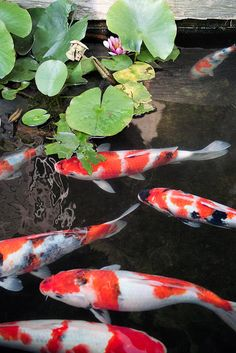 I think I want Japanese carps, Koi pond 鯉 Koi Art, Fish Art, Ponds For Small Gardens, Water Gardens, Garden Pond Design, Common Carp, Koi Painting, Goldfish Pond, Japanese Koi