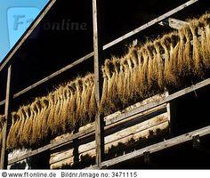 Italien, Trentino, die Trauben von Flachs Trocknen auf Veranda, Nahaufnahme