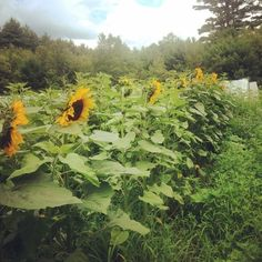 Forage crops & green manure crops-turnips, millets, oats, wheat, clover, vetch, sunflower seed crop and  rape (brassica forage) Forage Crops, Organic Vegetables, Sunflower Seeds, Farm Animals, Homesteading, Pumpkin, Canning, Green, Flowers