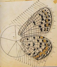 Vladimir Nabokov - Anatomical drawing of a butterfly