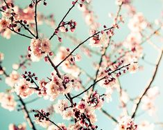 spring photography blossom sakura wall art 8x10 by mylittlepixels