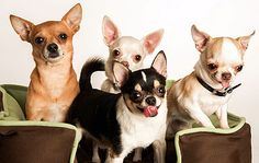 chihuahuas come in a variety of colors!