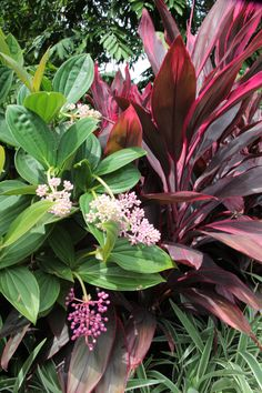 Tropical foliage in Singapore - Medinilla sp., Cordyline sp. and variegated Dianella.