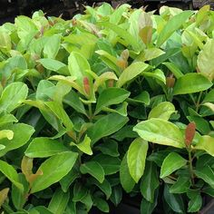 Fast-growing, glossy-leaved hedging shrub, great for establishing new gardens. Bronze new leaves. A shiny-leafed version of sweet Viburnum Landscaping Around Pool, Outdoor Landscaping, Hedging Plants, Shrubs, Back Gardens, Outdoor Gardens, Privacy Screen Plants, Balinese Garden, Garden Hedges