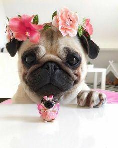 Little girl Pugs are divine! #pug