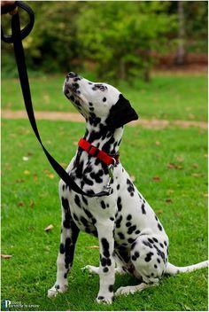 Dalmatian at Batsford Arboretum Beautiful Dogs, Animals Beautiful, Cute Animals, Spotted Dog, Dalmatian Dogs, Wood Dog, Dogs And Puppies, Corgi Puppies, Big Dogs