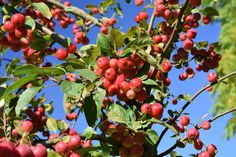 Malus x robusta Red Sentinel photographed by Teddington Gardener