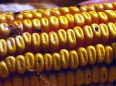 Risultati immagini per cowpea harvesting containers Africa
