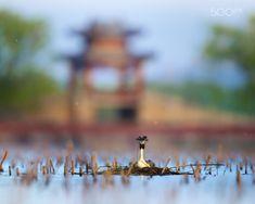 柳桥春暮 - 春暮时节,柳絮飘飞,凤头鸊鷈(Great Created Grebe)在颐和园西堤的柳桥附近孵蛋,微风抚起了她的发羽。
