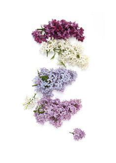 lilac (mary jo hoffman)