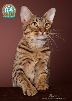 Ocicat, pure domestic breed with 'wildcat' markings