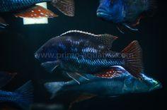 Nimbochromis fuscotaeniatus Spothead Hap-35-70