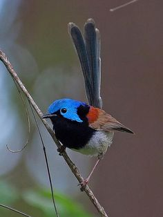 Variegated Fairy Wren Australia [photo: lui weber]
