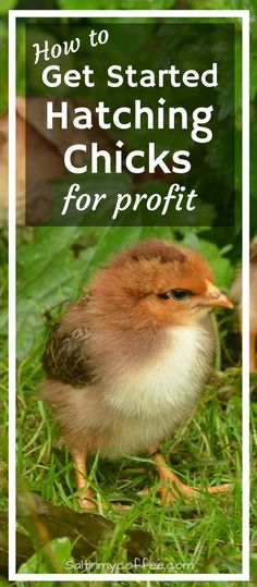 Hatching and selling chicks can be a helpful source of extra income on the homestead! Here are great tips for getting started!