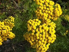 yarrow button August Wedding Flowers, August Flowers, Cut Flowers, Garden Planning, Flower Power, Orange Color, Buttons, Distance, Green