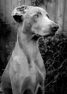 Weimaraner ♥  This is almost a spitting image of Otto!