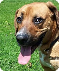 South Bend, IN - Boxer/Shepherd (Unknown Type) Mix. Meet Will, a dog for adoption. http://www.adoptapet.com/pet/13027428-south-bend-indiana-boxer-mix