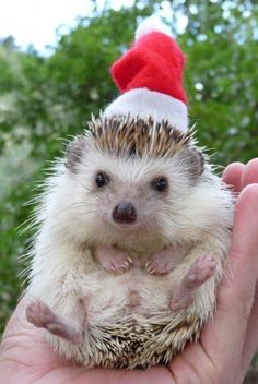 Animals with hats on pinterest hedgehogs party hats for Christmas pictures of baby animals