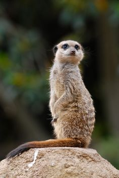 Portrait of a Meerkat by Gilles Royer on 500px