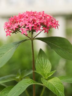 Pentas: It's a sure bet for attracting butterflies and hummingbirds in need of a snack.    Growing Conditions: Full sun and well-drained soil  Size: To 4 feet tall and 3 feet wide  Zones: 10-11, but usually grown as an annual  Grow it with: Angelonia for an easy-growing combo that looks smashing all season.