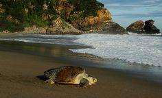 Pregopontocom Tudo: Mil tartarugas chegam para desova nas praias da Bahia e de Sergipe...