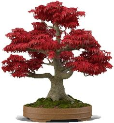 Japanese Red Maple Bonsai Tree 20 Seeds Acer Palmatum/Real | Etsy Red Maple Tree Leaf, Red Maple Bonsai, Maple Tree Seeds, Pine Seeds, Cherry Blossom Bonsai Tree, Flowering Cherry Tree, Bonsai Trees For Sale, Indoor Bonsai Tree, Acer Palmatum