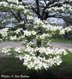 White Dogwood  (Cornus florida)