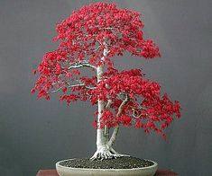 Bonsai Red Maple Tree Seeds