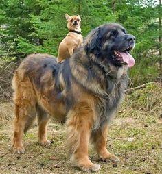 German Shepherd Australian Shepherd Mix Puppies