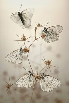 Goth wings by blepharopsis  Black-Veined White (Aporia crataegi).