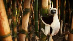 Bing Image Archive: Lemur on a bamboo tree, Madagascar (© Olivier Leger/Getty Images)(Bing United States) Widescreen Wallpaper, New Wallpaper, Wallpapers, Madagascar, Bing Backgrounds, Animal Pictures, Cool Pictures, Bamboo Tree, Image Archive