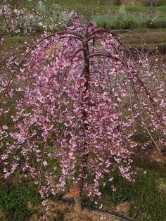 this brand-new weeping cherry when bright pink flowers smother it in midspring. This delicate new tree won't get so big that gardeners with small landscapes can't enjoy its ephemeral, springtime beauty. After the show ends, rich green leaves enshroud the tree's elegant architecture for a sculptural effect. 'Pink Cascade' quickly grows to its ultimate height in just a few growing seasons. Plant Name: Prunus 'Pink Cascade' Growing Conditions: fu...