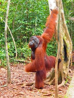 Male #Orangutan at #TanjungPuting Nationalpark at  #Borneo, #CampLeaky