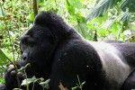 Making movies to save Uganda's great apes