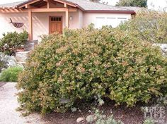 manzanita in the garden - Google Search