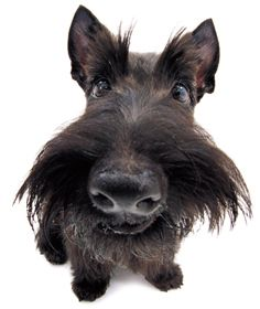 scottish terrier - the-dog-collection Photo