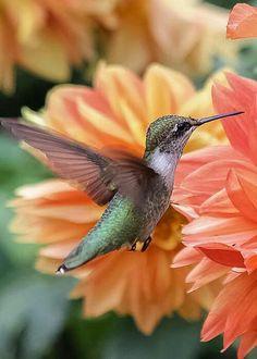 Another reason to grow dahlias! Hummingbird by Elizabeth Ann Pretty Birds, Beautiful Birds, Animals Beautiful, Exotic Birds, Colorful Birds, Images Colibri, Animals And Pets, Cute Animals, Hummingbird Pictures