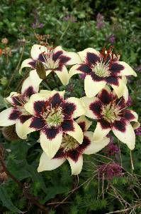 Asiatic Lily Patricias Pride