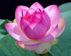 Short essay on lotus flower