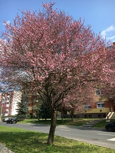 Cherry tree in Hungary
