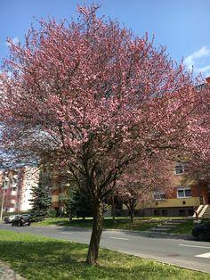 Cherry tree in Hungary