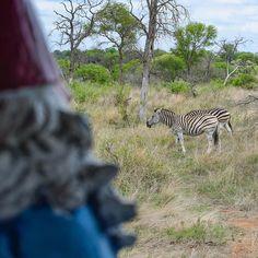 A group of #zebras is called a dazzle. Coincidence? I think not. #Dazzling #FLYSAA  #KrugerNationalPark #ZebrasOfInstagram #SouthAfrica #Safari #Wildlife #NaturalBeauty #WildlifePlanet #GreatOutdoors #Naturegram #Nature #Conservation #Zebra #Stripes #Wanderlust #Views #Travelgram #Travel #Instatravel #WorldTravel #PhotoOfTheDay #WildlifePhotography