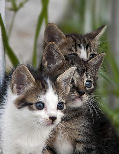 These look like my babies Tom (on the left) and Huck (next to him). So cute! <3
