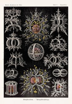 Ernst Haeckel: the art of evolution – in pictures