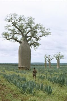 Picture of baobab trees