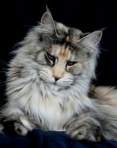 Maine Coon http://www.mainecoonguide.com/maine-coon-vs-norwegian-forest-cat/