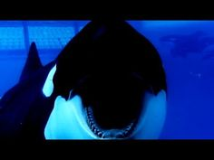 ▶ Blackfish - Capturing Orcas - YouTube