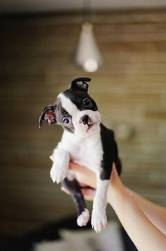 My heart is melting!! Love boston terriers!