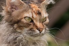 6 Curly Facts About LaPerm Cats  | Mental Floss