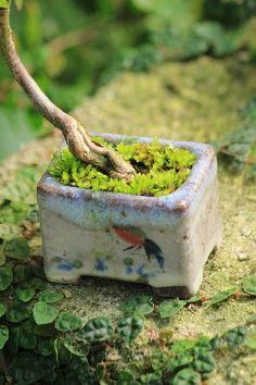モミジの超ミニ盆栽 | チョコレート盆々